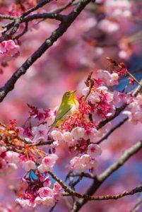 小鳥と桜の画像